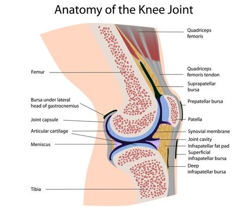 Knee nicky snazell anatomy of the knee ccuart Gallery