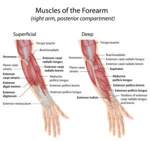 Forearm extensor muscles